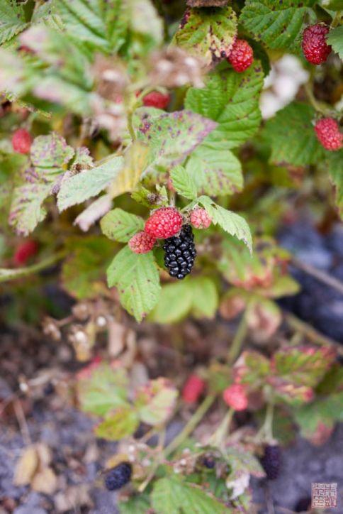 swanton berry 3