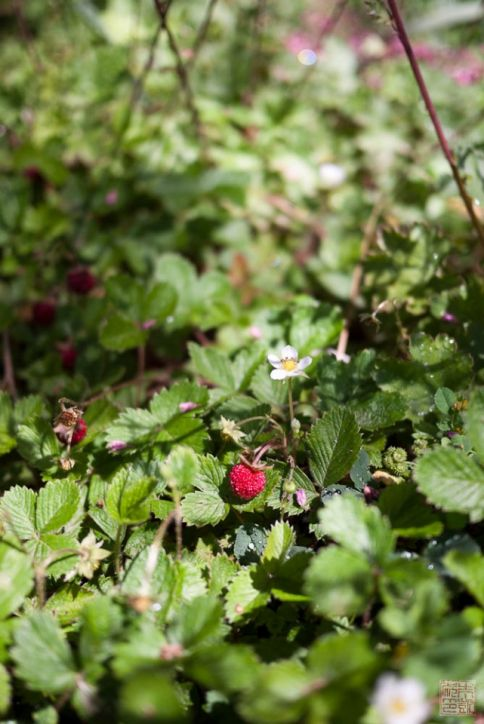 quivira strawberries