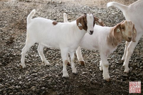 Tillamook baby goats