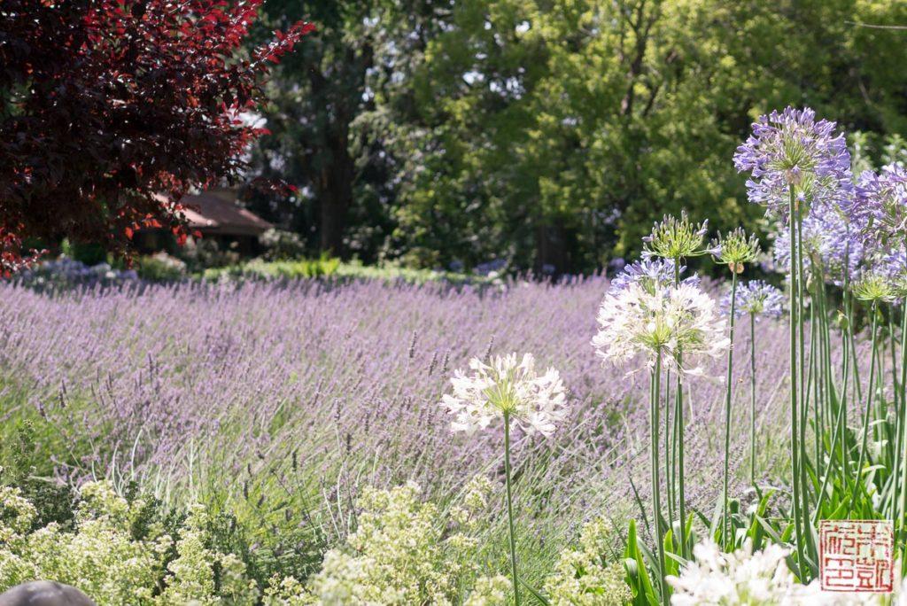 Trefethen Lavender
