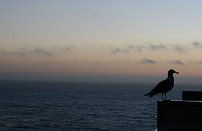 Sunsetgull
